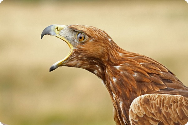 Беркут (лат. Aquila chrysaetos)