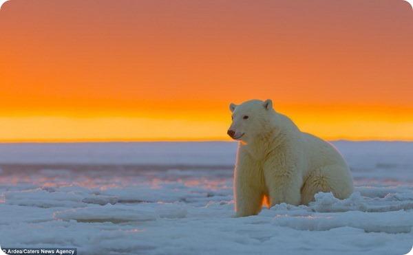 Полярные медведи из Арктического заповедника