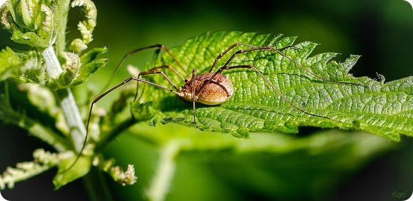 Сенокосцы (лат. Opiliones или Phalangida)