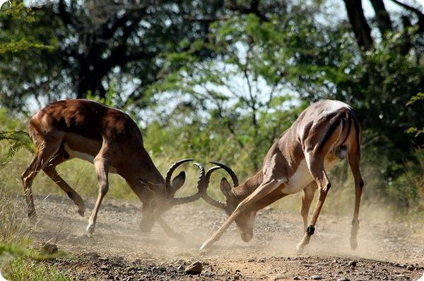 Импала или чернопятая антилопа (лат. Aepyceros melampus)