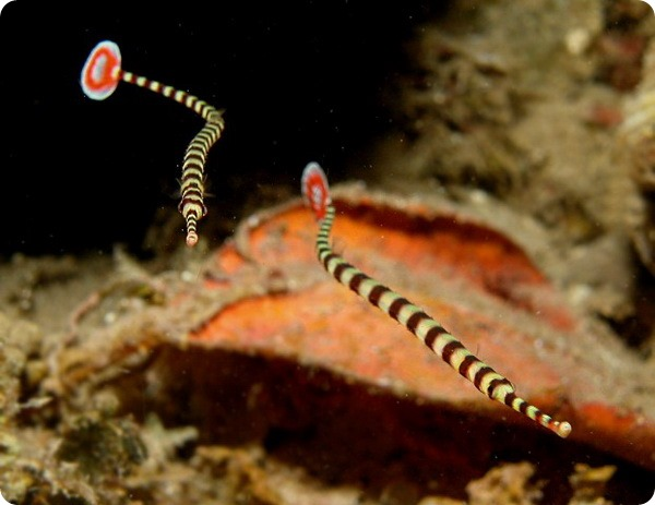 Краснохвостая игла-зебра (лат. Dunckerocampus dactyliophorus)