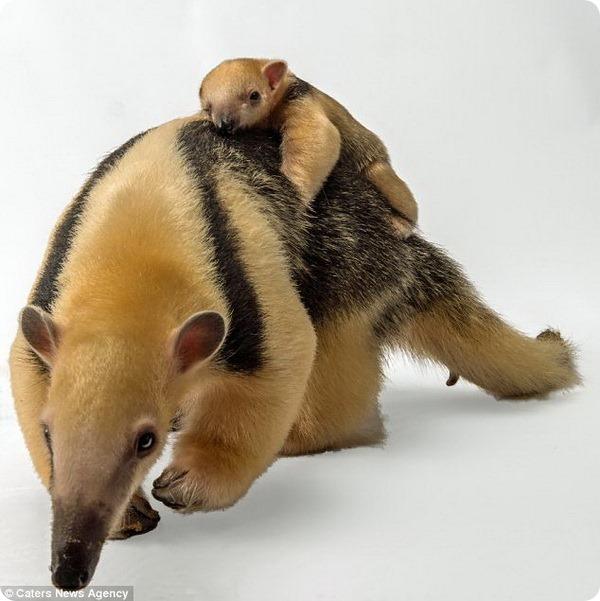 В зоопарке Статен-Айленд родился детеныш муравьеда