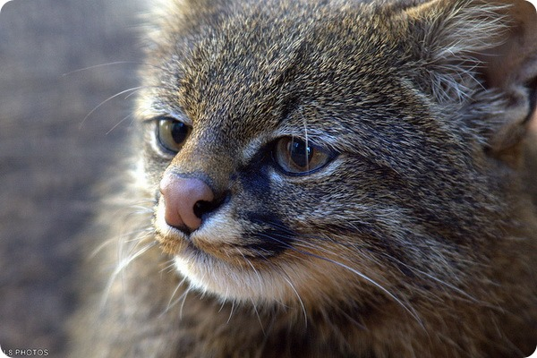 ���������� ����� (���. Leopardus pajeros)