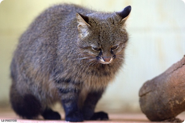 Пампасская кошка (лат. Leopardus pajeros)