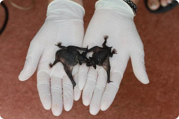 В зоопарке Окленда родились летучие мыши