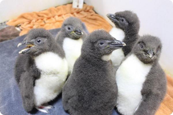 Аквариум Омахи представил птенцов хохлатого пингвина