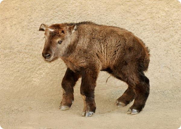 В зоопарке Лос-Анджелеса родился детеныш такина