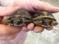 Детеныши гигантской черепахи из зоопарка Tulsa Zoo