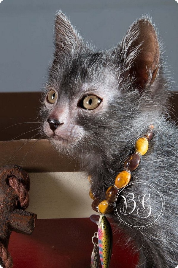 Ликои – кошки похожие на оборотней