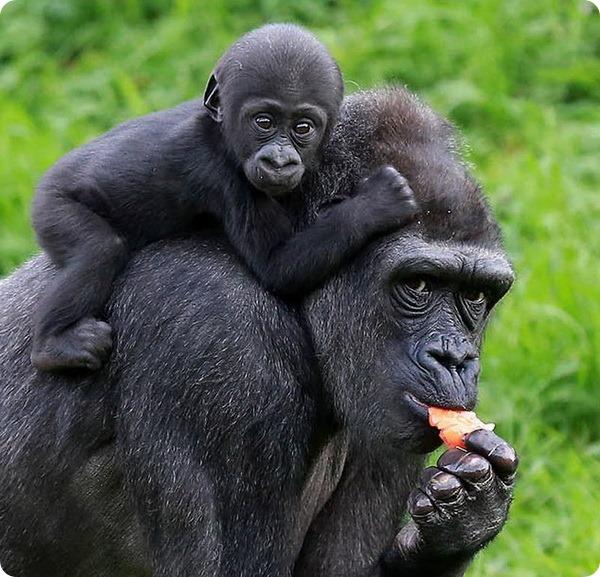 В зоопарку Белфаста підростає дитинча горили - все про тварин