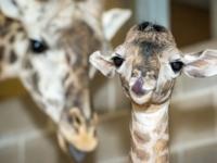 Хьюстонский зоопарк представил детеныша жирафа