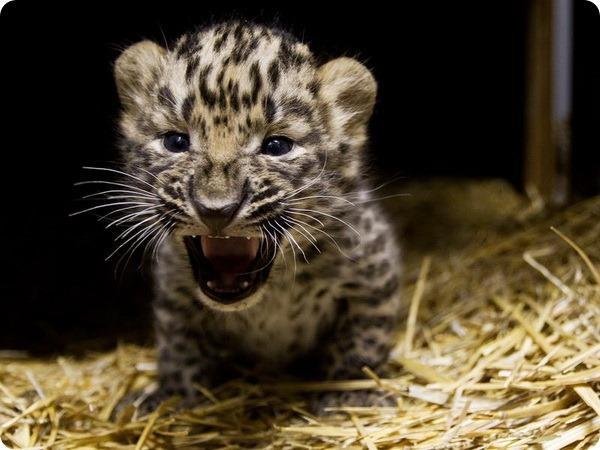 Маленькие амурские леопарды из зоопарка Праги