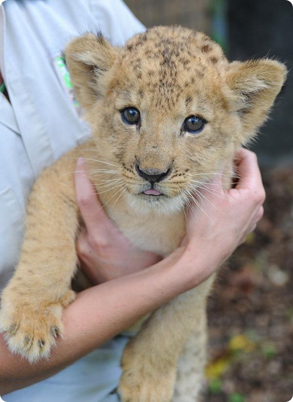 В зоопарке Майами выхаживают маленького львенка