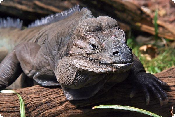 Игуана-носорог (лат. Cyclura cornuta)