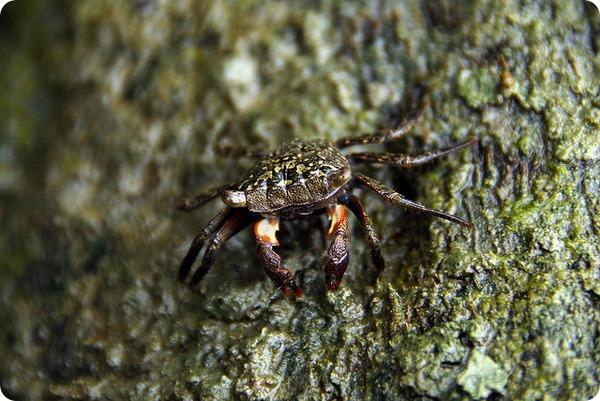 Мангровый древесный краб (лат. Aratus pisonii)