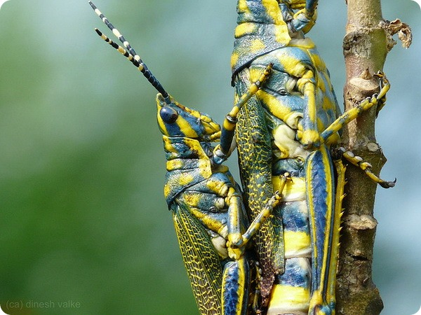 Цветистый кузнечик (лат. Poekilocerus pictus)