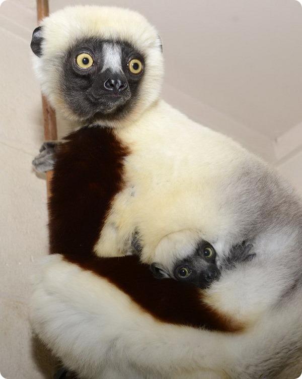 Ореховые сифаки из Duke Lemur Center