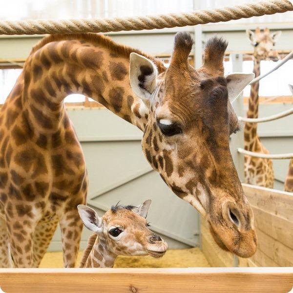 Жирафенок из зоопарка Бельгии
