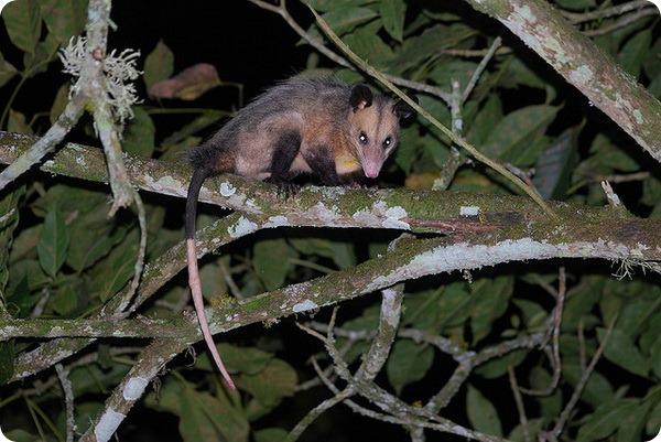 Южный опоссум (лат. Didelphis marsupialis)
