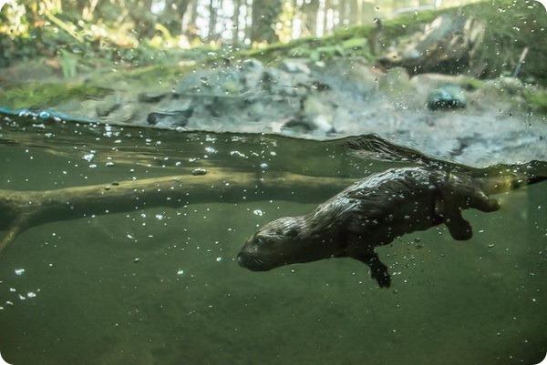 Детеныш канадской выдры учится плавать