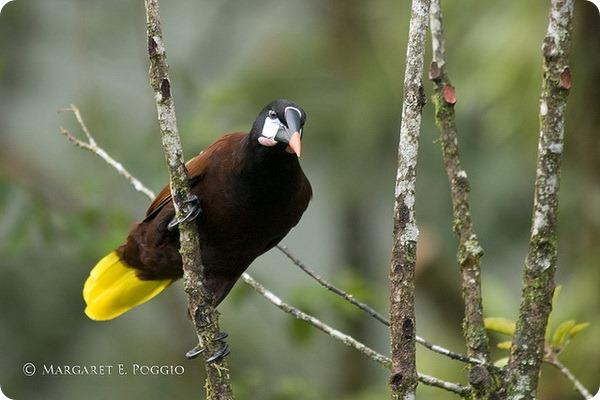 Оропендола-Монтецума (лат. Psarocolius montezuma)