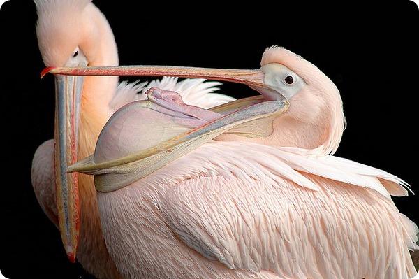 Розовый пеликан (лат. Pelecanus onocrotalus)
