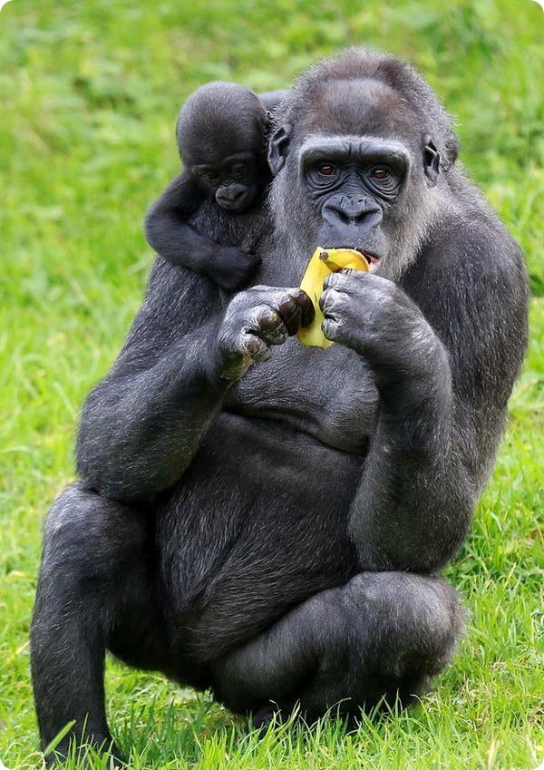 В зоопарке Белфаста подрастает детеныш гориллы
