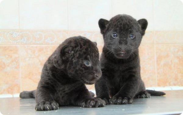 Ленинградский зоопарк показал черных детенышей ягуара