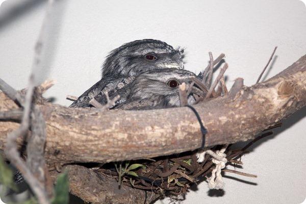 Дымчатый лягушкорот из зоопарка Денвера