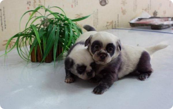 В Китае на свет появились необычные щенки