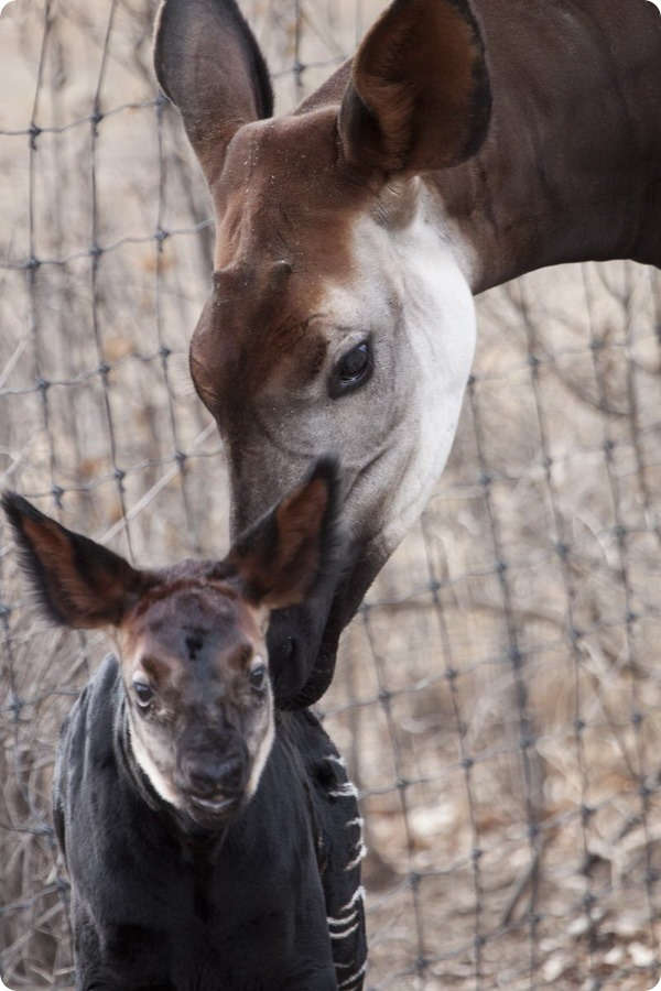 Самка окапи из зоопарка Денвера родила малыша