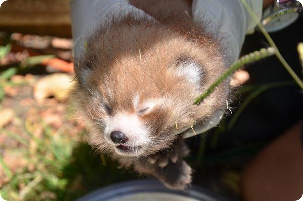 Зоопарк Окленда представил близнецов красной панды