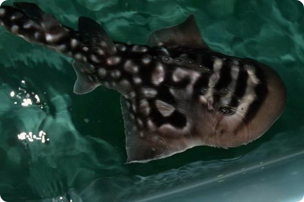 Детеныши акульего ската из аквариума Ньюпорта