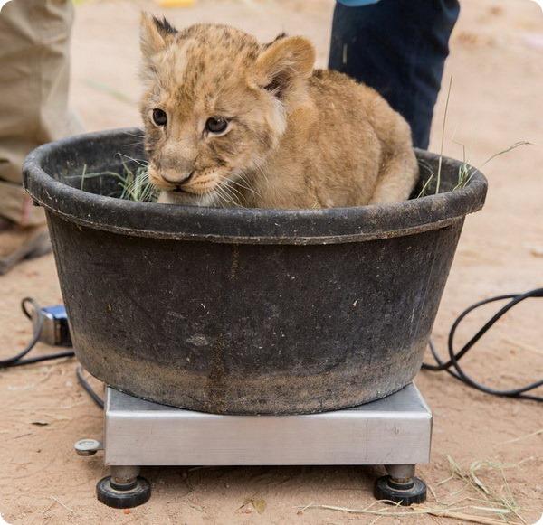 Зоопарк Рейд-Парк представил своих львят