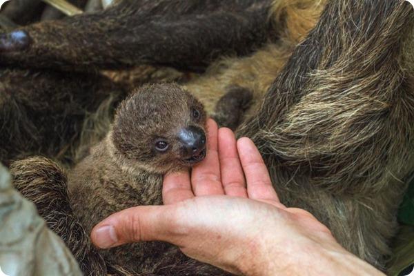 В Балтиморе подрастает детеныш ленивца