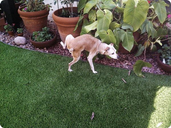 Почему собака метит территорию ?