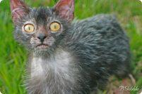 Ликои: кошки-оборотни