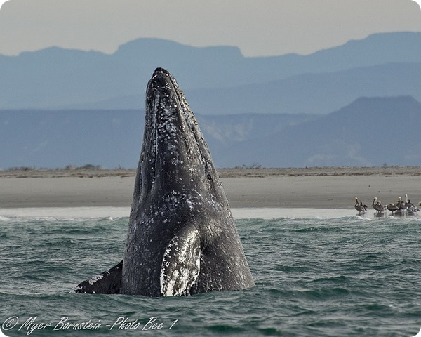 Серый кит (лат. Eschrichtius robustus)