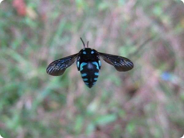 Неоновая пчела-кукушка (лат. Thyreus nitidulus)