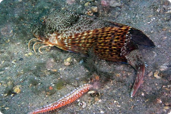 Морские петухи (лат. Triglidae)