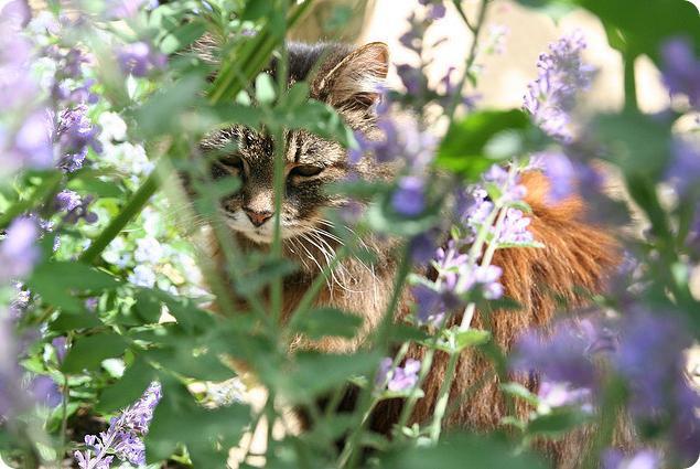 Кошачья мята или Котовник кошачий (лат. Nepeta cataria)
