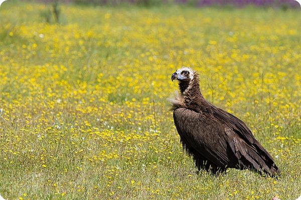 Черный или бурый гриф (лат. Aegypius monachus)