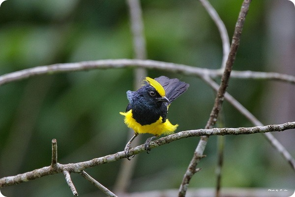 Золотохохлая синица (лат. Melanochlora sultanea)