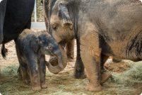 В зоопарке Хьюстона родился азиатский слоненок