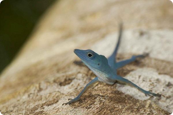 Голубой анолис (лат. Anolis gorgonae)