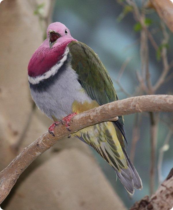 Красношейный пестрый голубь (лат. Ptilinopus porphyreus)