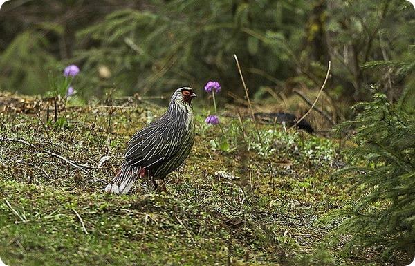 Кровавый фазан, или итагин (лат. Ithaginis cruentus)