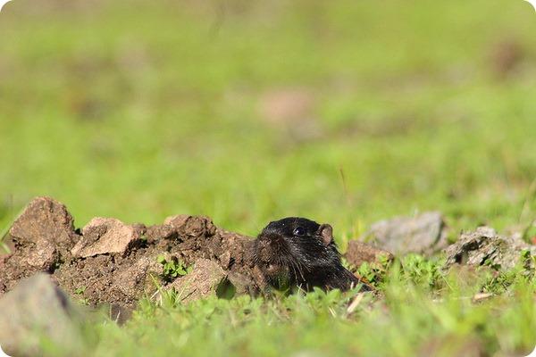 Слепышовый восьмизуб (лат. Spalacopus cyanus)