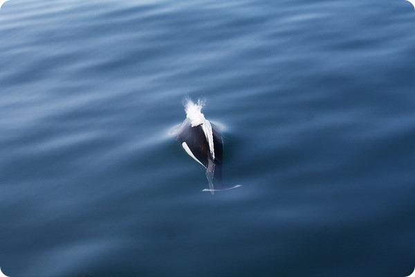 Морская свинья Далля или белокрылая морская свинья (лат. Phocoenoides dalli)