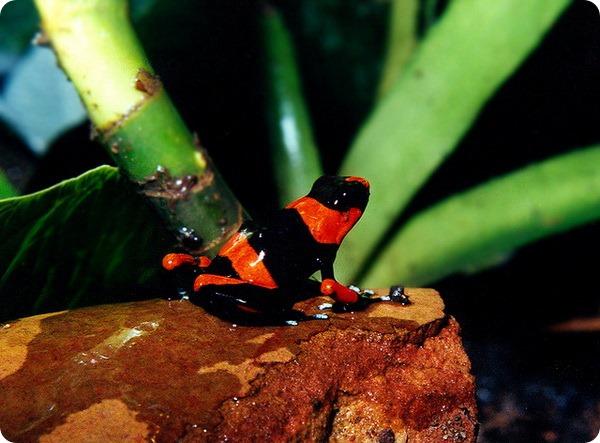 Поперечно-полосатый древолаз (лат. Oophaga lehmanni)